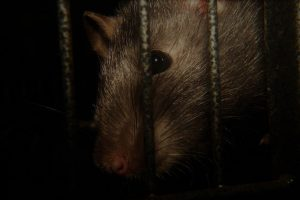 General Rat